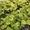 108 x WASABI PLANTS sadzonki sushi plant pflanze japan farm #1701338