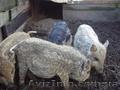 Травоядные свиньи мангалица