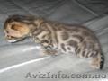 Бенгальские   котята .(пятнистые леопардики)