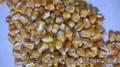 семена простых, двойных,  трехлинейных гибридов кукурузы. Артемов. Кий. Ромашка